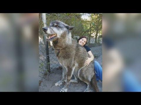Непредсказуемый Юки — история одного огромного волкособа