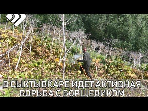В Сыктывкаре продолжают борьбу с борщевиком.