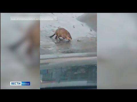 В Воркуте придумывают имя ондатре, поселившейся на городском озере