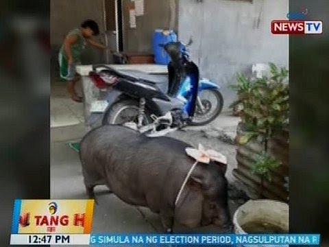 BT: Baboy na pinangalanang 'Porkchop,' alaga ng isang teacher sa Cavite