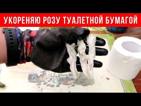 НЕОБЫЧНОЕ укоренение черенков РОЗЫ туалетной бумагой