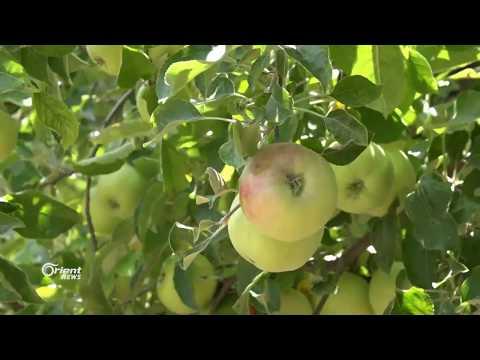 الأراضي والمحاصيل تعاني من القصف والجفاف والغلاء وكذلك مزارعيها في اللاذقية