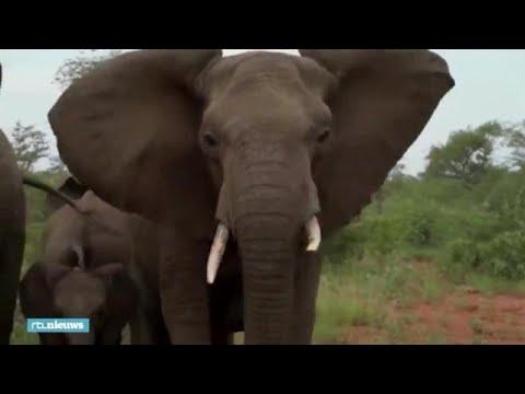 Olifanten bestormen safari-jeep: 'Dit is echt doodeng'  - RTL NIEUWS