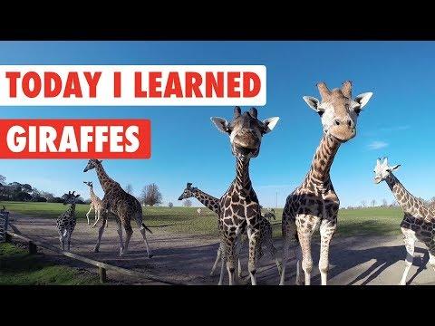 Today I Learned: Giraffes! - UCPIvT-zcQl2H0vabdXJGcpg