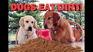 Funny Golden Retriever's Puppy Dogs Eat Dirt!!!
