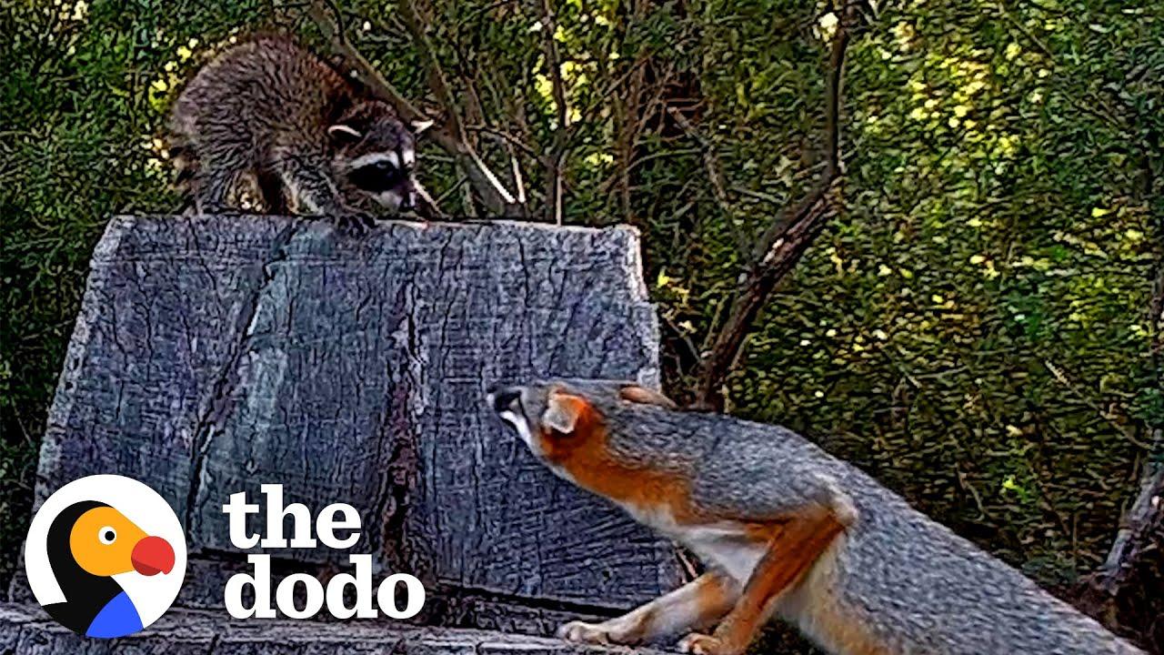 Brave Raccoon Cub Stays The Night At Fox Den | The Dodo Wild Hearts