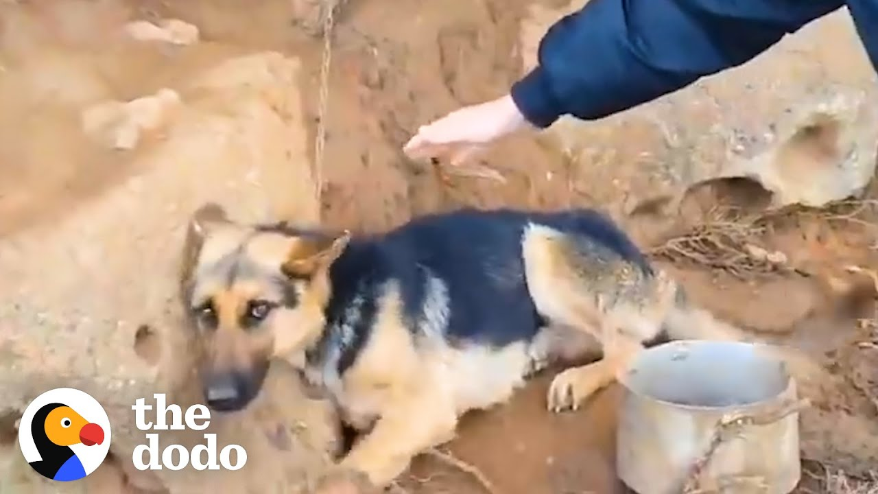 The Exact Right Guy Found A German Shepherd Chained Up On A Mountain | The Dodo