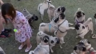 Large gathering of playful pugs will make your day
