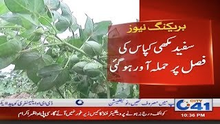 Critical Threats To Cotton Crop In District Jhang