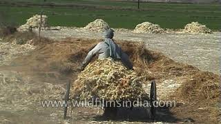 Harvesting and churning of sugarcane for manufacturing of sugar a sugar mill