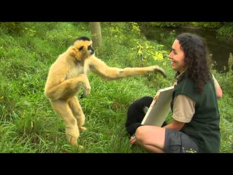 Conservation Connection: White Cheeked Gibbon - UCFzdOhud79YTm1zBZd3YmQg
