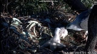 Bielik białobrzuchy Sydney Australia - ataki starszego pisklaka SE23 na  młodszego SE24  2019 08 14