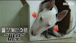 유노윤호씨 얘도 제일 싫어하는 벌레가 '대충'이래요 ㅣ Bull Terrier Dog Has More Passion Than U-KNOW YUNHO of TVXQ
