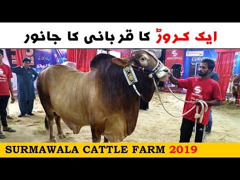 Surmawala Cattle Farm 2019 - Sohrab Goth Cow Mandi Karachi