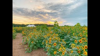10-acre sunflower field – one of largest in Ohio – now in full bloom