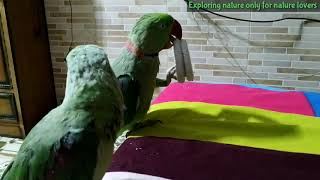 mitthu | parrots playing with Hairband