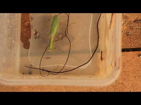 Three giant parasites explode out of zombie praying mantis - UC7LzNYDxVCYCJosdqy_hZ4g