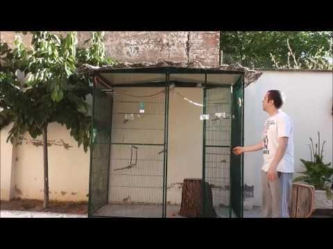 Vuelo libre con agapornis roseicollis - Flypornis - UCgEqVO3at6yCumBCACZMltA