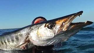 Monstre Marin plus de 100KG de Barracuda - chasse sous marine 2016