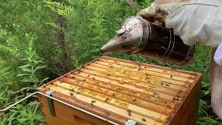 Beekeeping. Single Brood Chamber. August 23. Full honey supers again.