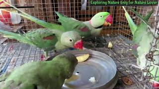 Mitthu | mitthu like apple | sweet lime | best fruit for parrots