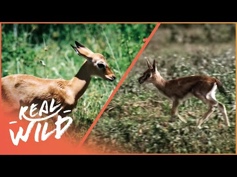 Fawn identity [Impala and Gazelle Documentary] | Wild Things - UCbq-4OJxnziD3awH-aTezeA