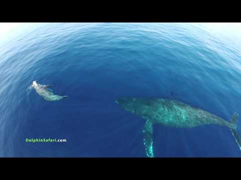 Drones Over Dolphin Stampede and Whales off Dana Point and Maui - UCa53fMnMax27fsyKBP_ygSA