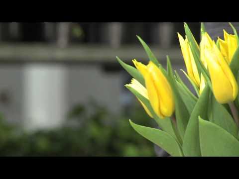 Skötselråd för tulpaner