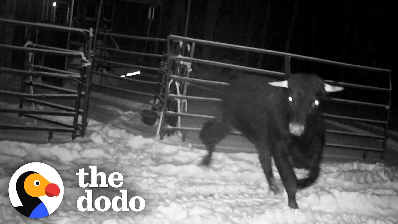 Cop Spends 8 MONTHS Trying To Catch An Escaped Beefalo | The Dodo Comeback Kids