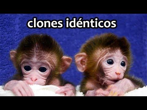 Primeros monos clonados | Noticias 5/02/2018