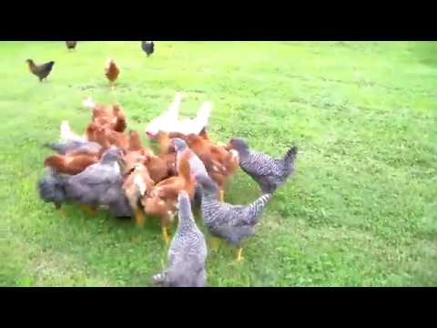 My chickens exercise plan for better eggs.