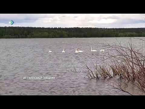 В Печору прилетели лебеди