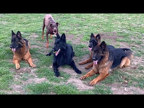 Will These Unruly Dogs Even Faze My Pack Of German Shepherds?!?