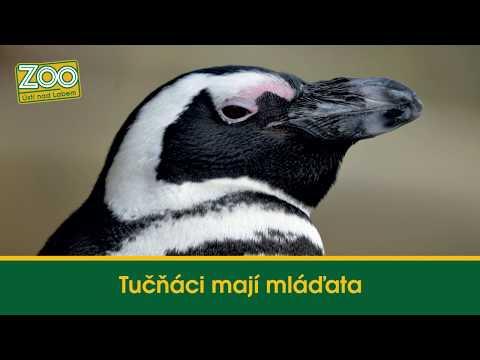 Tučňáci mají mláďata