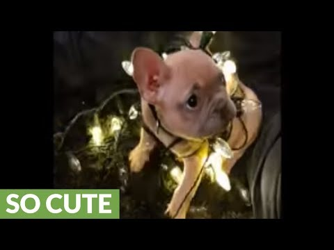 French Bulldog wraps himself in Christmas lights