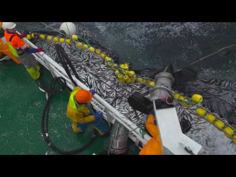Herring fishing in Norway