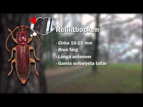 Reliktbock - en ansvarsart i Karlstads kommun