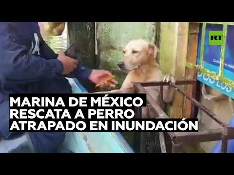 Marinos de México adoptan un perro que rescataron de morir ahogado en las inundaciones