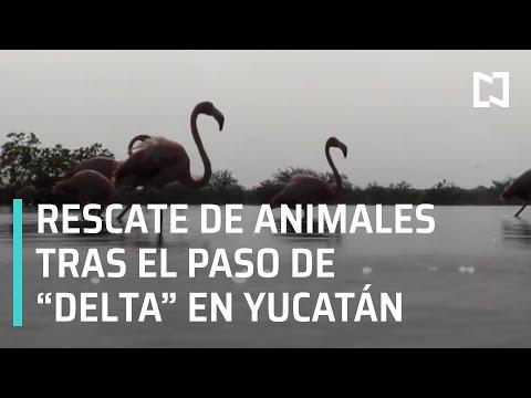 Rescate de flamencos rosas en Yucatán tras el paso del Huracán Delta – En Punto