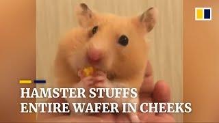 Hamster stuffs entire wafer in cheeks