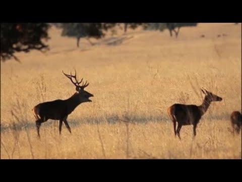La sinfonía de los ciervos en el 'Serengueti español'