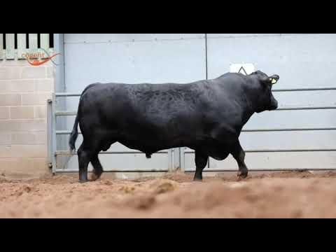 BLACK BUSH - Aberdeen Angus