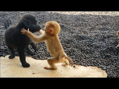 Cute baby monkey relax and play happily with 2 puppies - UC4WpDEt_I3R6C1V5vJy_n1w
