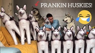 Pranking My Huskies With 10 Inflatable Huskies! [FUNNIEST REACTION EVER!!]