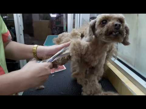 """POODLE """" HEAVILY MATTED"""" GROOMING @ JY PET SALON - UCT3Y_PPoZ0C-DiUPlVTviLg"""