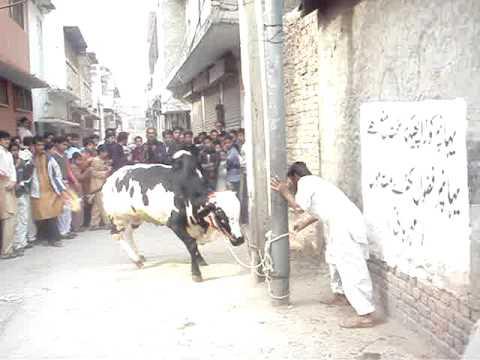 Dangerous Cow