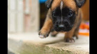 Cute 6 Week Old Boxer Puppies Playing 2019
