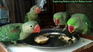 All Alexander parrots eating pear