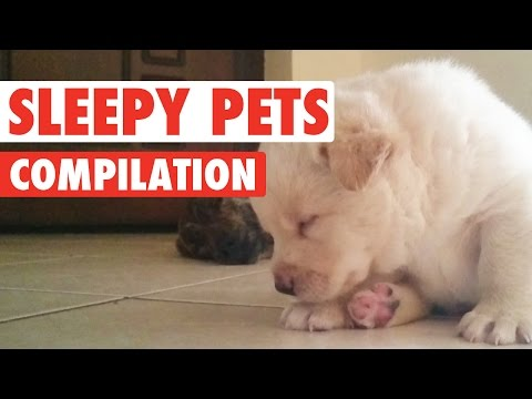 Sleepy Pets Video Compilation 2016 - UCPIvT-zcQl2H0vabdXJGcpg