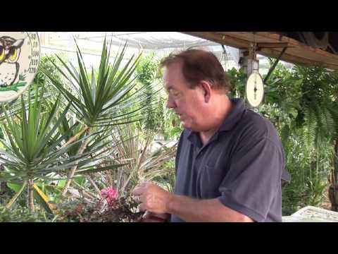 How to Trim Knockout Rose Trees - UCDgr7nAbzYCkWxTsSJFcoGg